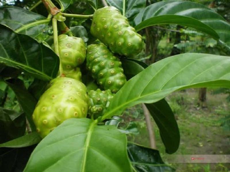 ép Tahitian Noni được chết xuất từ trái nhàu tự nhiên
